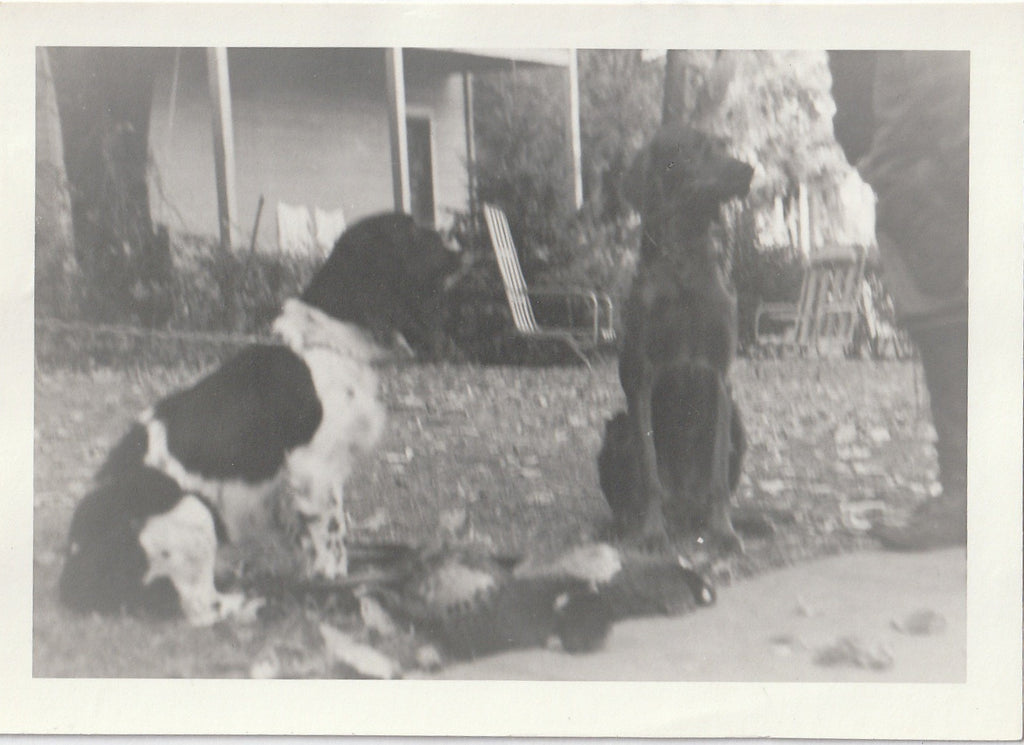 Hunting Dogs - Pheasant Hunter - 4 of 4 - Photo, c. 1950s