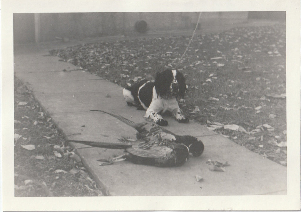Hunting Dogs - Pheasant Hunter - 2 of 4 - Photo, c. 1950s