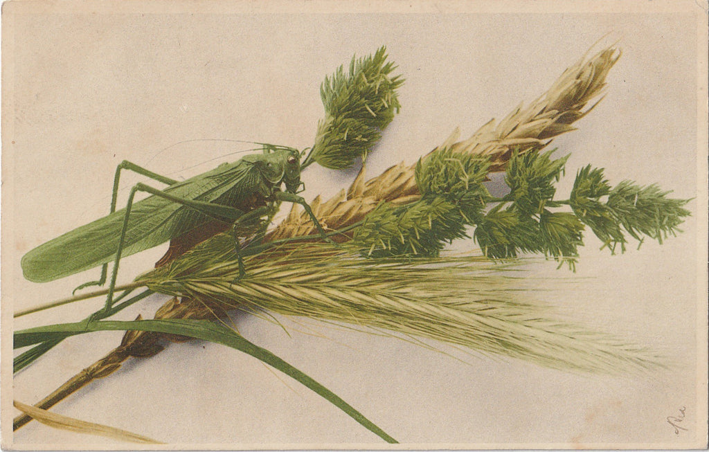 Lucky Green Grasshopper Antique Postcard
