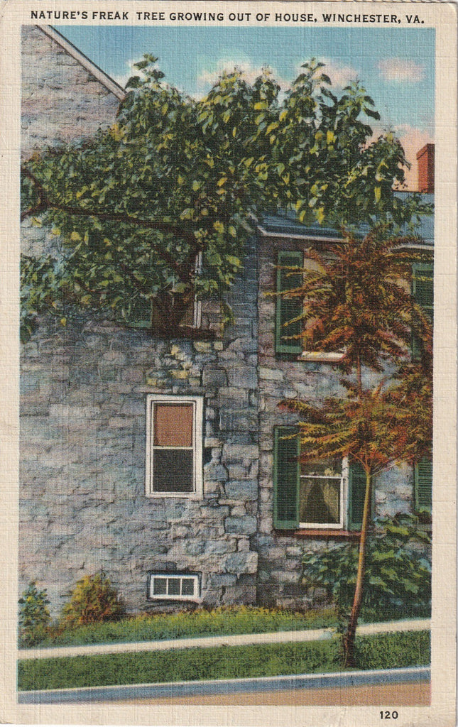 Nature's Freak Tree Winchester VA Vintage Postcard