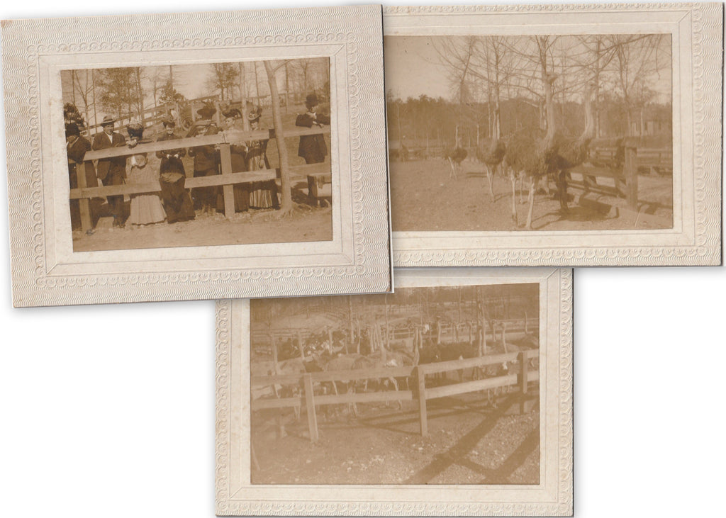 Ostrich Farm Antique Cabinet Photographs