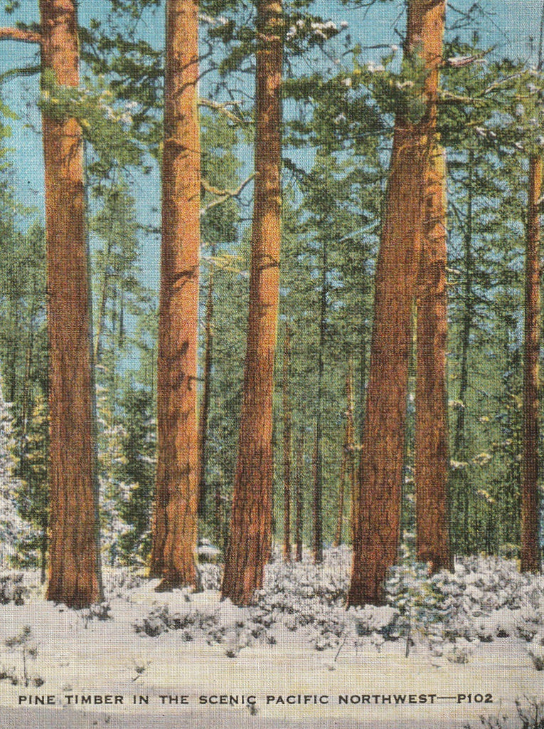 Pine Timber Pacific Northwest Vintage Postcard Close Up