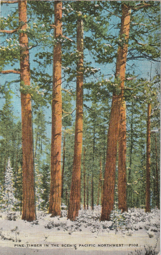 Pine Timber Pacific Northwest Vintage Postcard