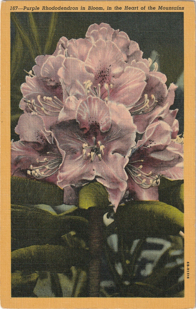 Purple Rhododendron in Bloom Heart of the Mountains Postcard