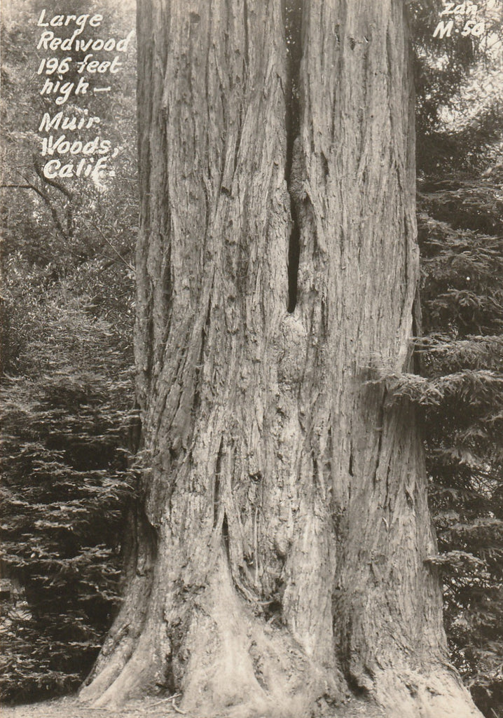 Redwood Tree Muir Woods California Vintage RPPC Close Up