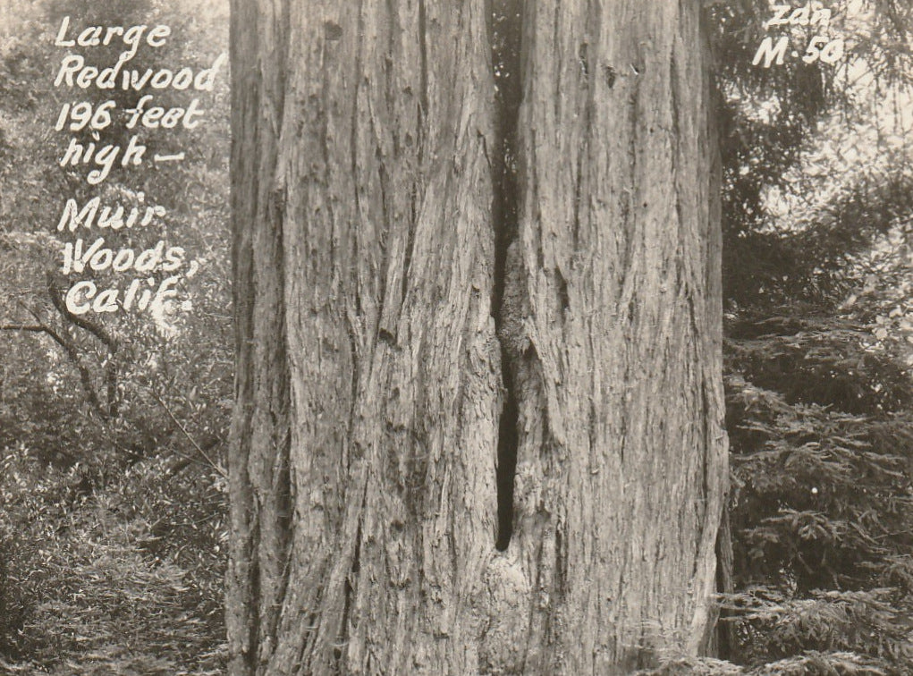 Redwood Tree Muir Woods California Vintage RPPC Close Up 2