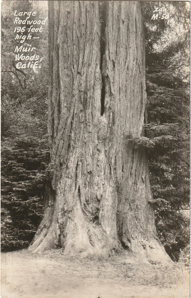Redwood Tree Muir Woods California Vintage RPPC