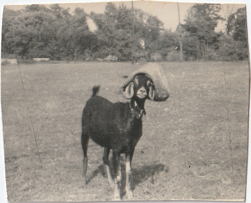 Silly Billy Goat in Straw Hat Photo