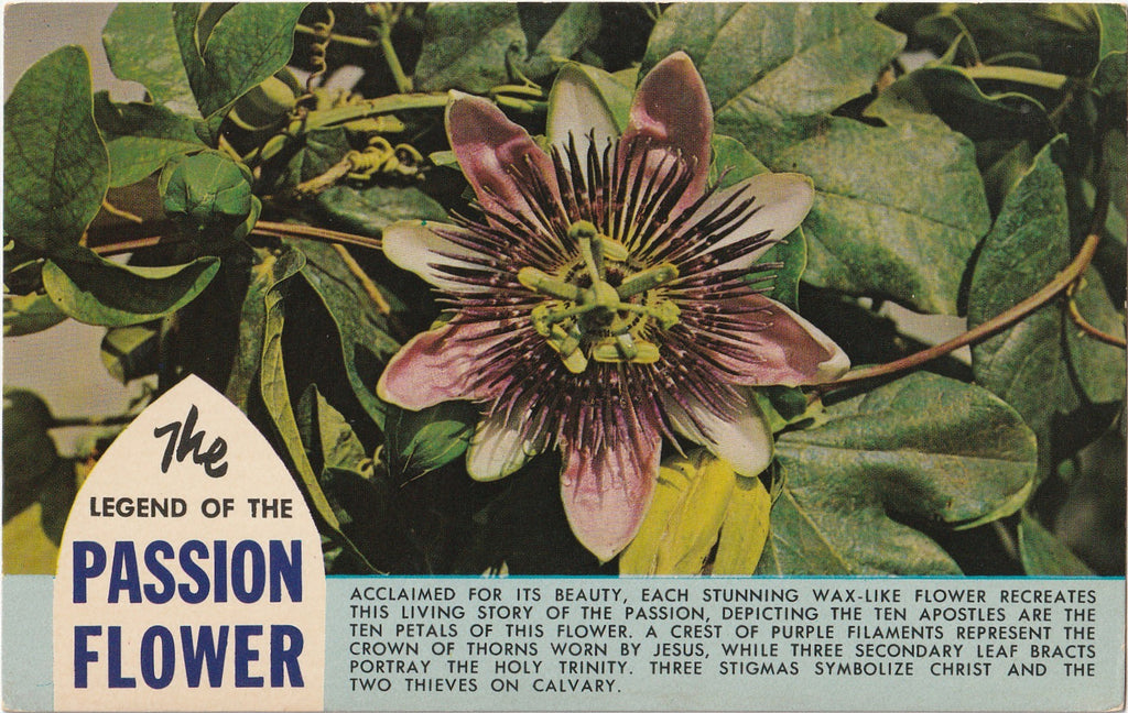 The Legend of the Passion Flower Postcard