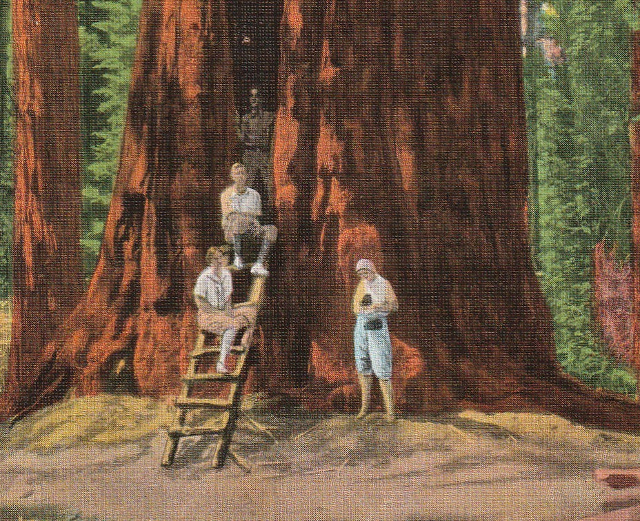 The Room Tree Sequoia National Park Vintage Postcard Close Up 2