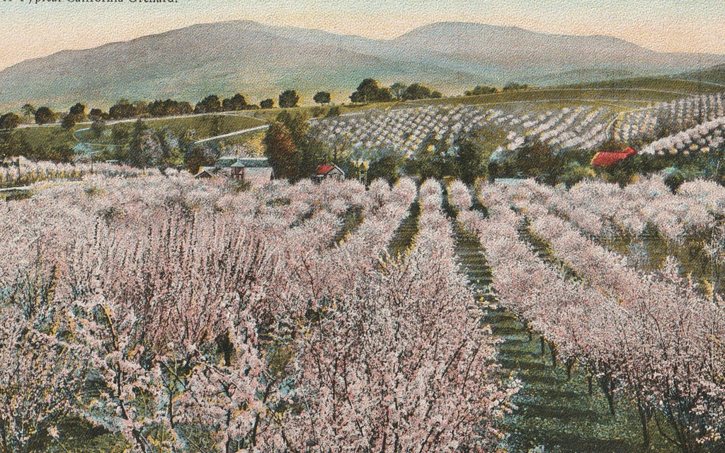 Typical California Orchard Antique Postcard Close Up
