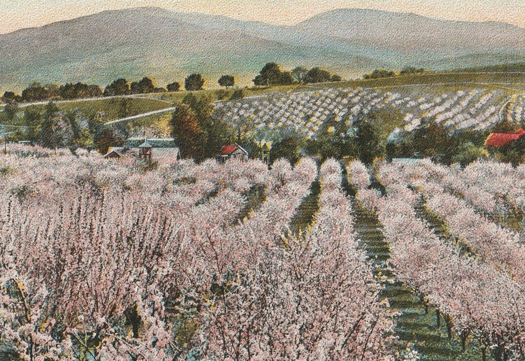 Typical California Orchard Antique Postcard Close Up 2