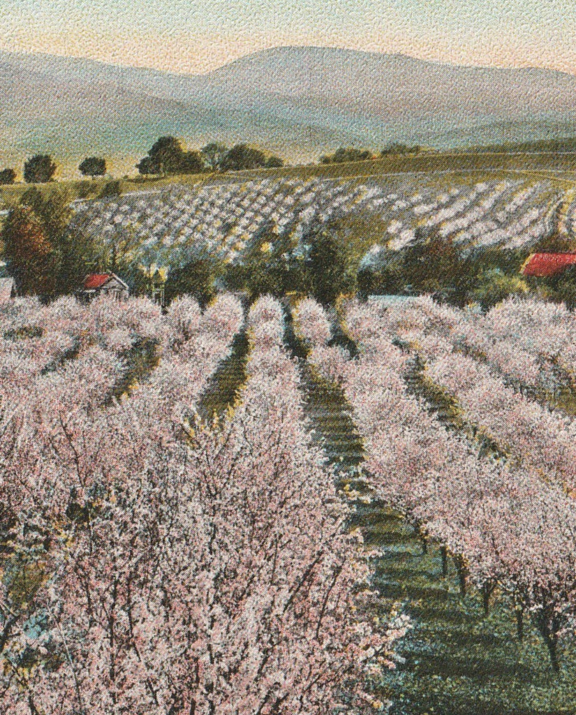 Typical California Orchard Antique Postcard Close Up 3