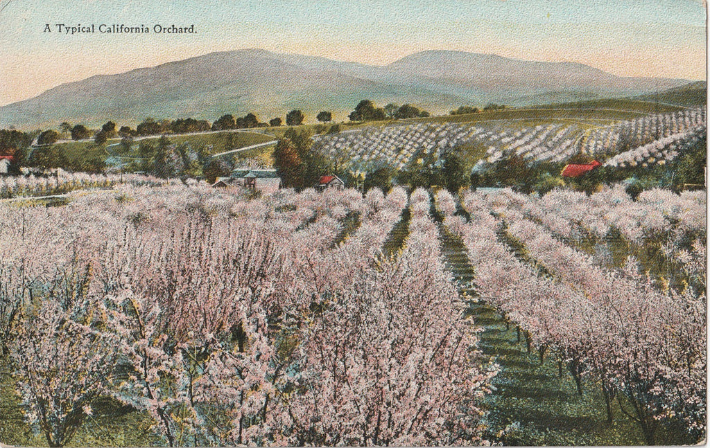 Typical California Orchard Antique Postcard