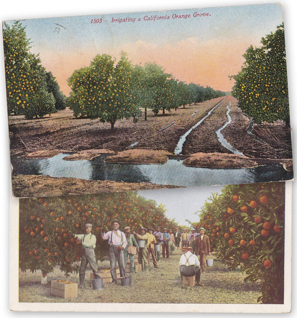 California Orange Groves- 1910s Antique Postcards- SET of 2- Pasadena, CA- Irrigation- Farming- Edwardian Souvenir- Paper Ephemera