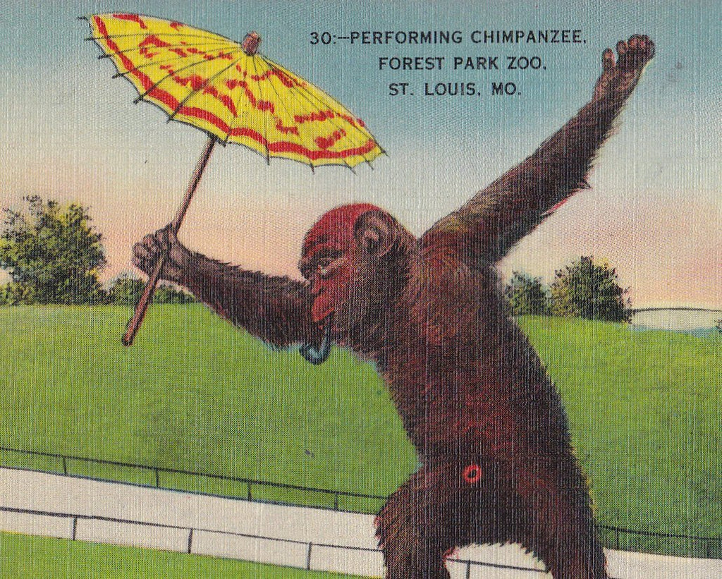 Performing Chimpanzee- 1940s Vintage Postcard- Smoking Chimp- Forest Park Zoo- St. Louis, MO- Monkey Ape- Metropolitan- Used