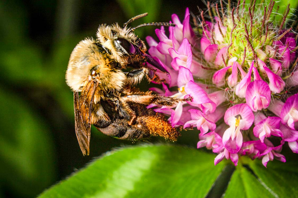 Pollinators Are Key to Sustainable, Holistic Beef