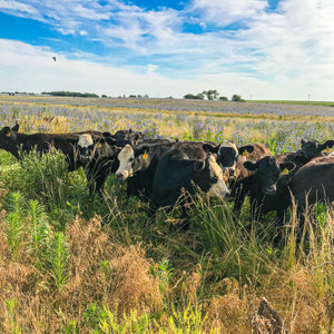 grass-fed & grass-finished cows graze a pasture