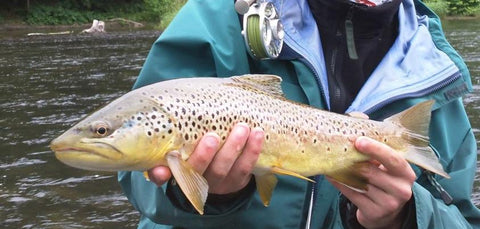 West Branch Brown Trout