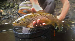 Croton Brown Trout - Olive cdc Emerger size 22
