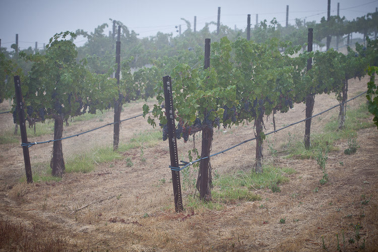 Vines on a foggy morning