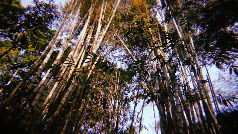 bamboo forest for straws