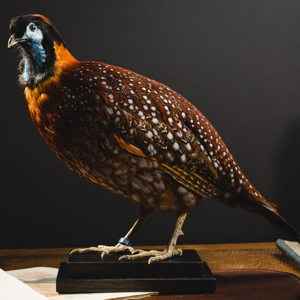 Temmink's Tragopan Taxidermy on Black Base