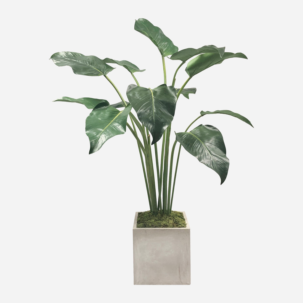 Calla Leaf in Square Planter