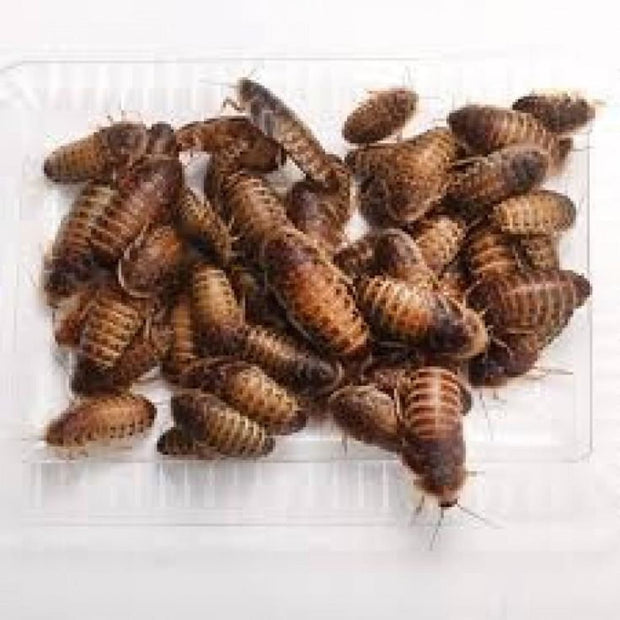 Live Feeder Dubia Roaches (X-Large) - Food & Health