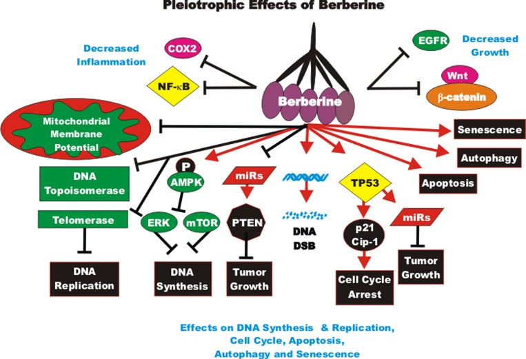 Berberine effects on DNA Synthesis and Replication, Cell Cycle, Autophagy, Senescence and Apoptosis.
