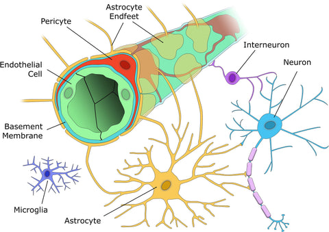 Pericytes_and_Neurovascular_Function_in_the_Healthy_and_Diseased_Brain