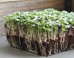 Microgreens - Full Tray