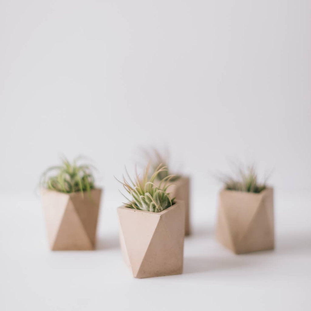 Live Air Plant in Handmade Concrete Mini Pot