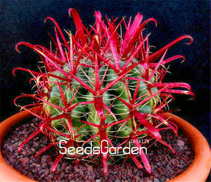 Red Barrel Cactus Flower bonsai 100 Pcs