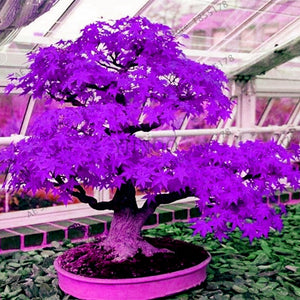 Japanese Purple Ghost Maple Tree Bonsai for Garden Planting All Season, 20pcs/bag