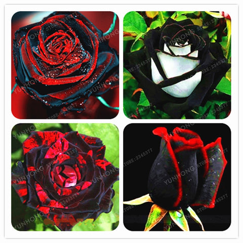 Rare Black Rose Flower With Red Edge Bonsai Planting Seeds 100 Pcs