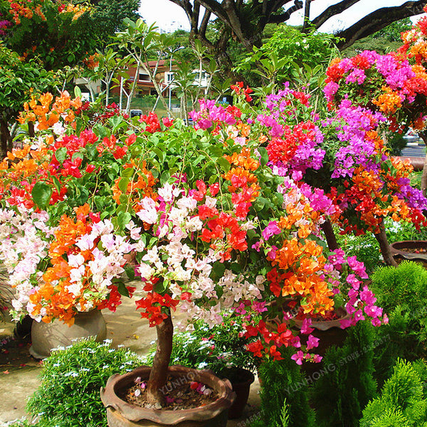 Colorful Bougainvillea Willd plant Perennial Flower - Seeds 100 Pcs/Bag