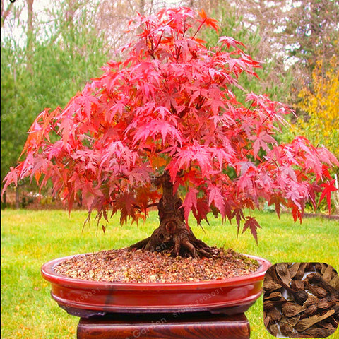 Real Japanese Red Ghost Maple Tree Bonsai - 20 seeds/Pack