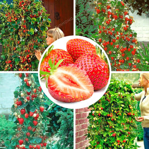 Red Giant Climbing Strawberry Bonsai Fruit seeds 500 PCS