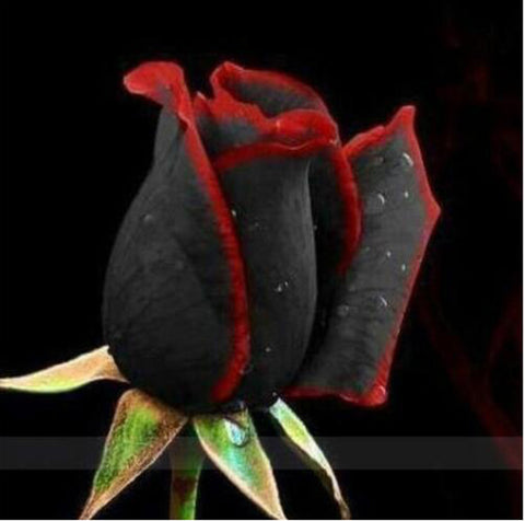 Rare Black Rose Flower With Red Edge - 100Pcs