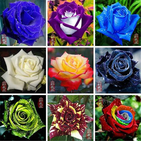 Rose Gardening Multi Color Ornamental Plants Seeds 500 Pcs