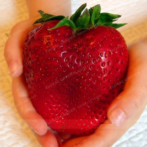 Red giant Climbing Strawberry Seeds 500 PCS