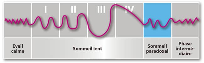 phases de sommeil