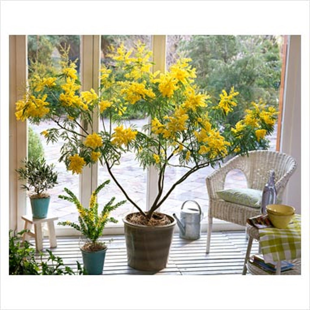 Acacia Dealbata Tree Or Shrub 20 100 1 000 Seeds Silver Wattle Mimosa The Plant Attraction
