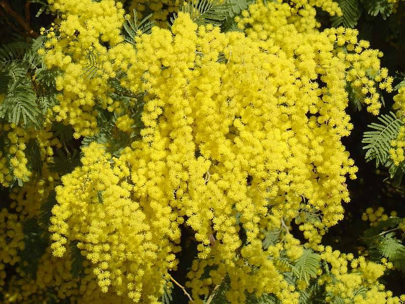 Acacia Dealbata Tree Or Shrub 20/100/1,000 Seeds, Silver Wattle Mimosa