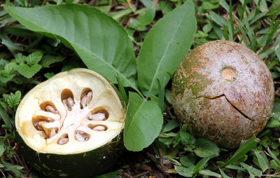 Aegle Marmelos 8 Seeds, Indian Bael Fruit, Golden Apple Shrub Tree, Bengal Quince