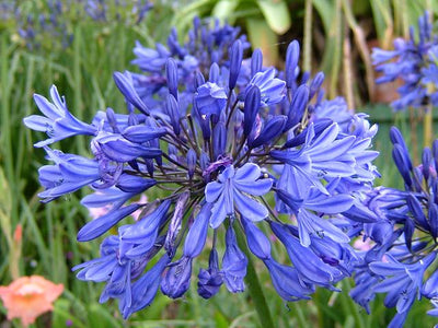 Agapanthus Inapertus 6 Seeds, Drooping Lily of the Nile Flower