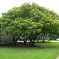 Albizia Lebbeck Tree 10/100 Seeds, Very Fragrant Indian Siris, Woman's Tongue, Silk Tree