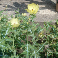 Argemone Mexicana 25 Seeds, Mexican Yellow Prickly Poppy Medicinal Perennial Herb