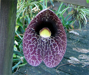 Aristolochia Littoralis Vine 10 Seeds, Calico Dutchman's Pipe Flower